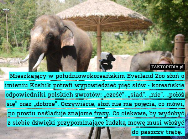 """Mieszkający w południowokoreańskim – Mieszkający w południowokoreańskim Everland Zoo słoń o imieniu Koshik potrafi wypowiedzieć pięć słów - koreańskie odpowiedniki polskich zwrotów: """"cześć"""", """"siad"""", """"nie"""", """"połóż się"""" oraz """"dobrze"""". Oczywiście, słoń nie ma pojęcia, co mówi, po prostu naśladuje znajome frazy. Co ciekawe, by wydobyć z siebie dźwięki przypominające ludzką mowę musi włożyć do paszczy trąbę."""