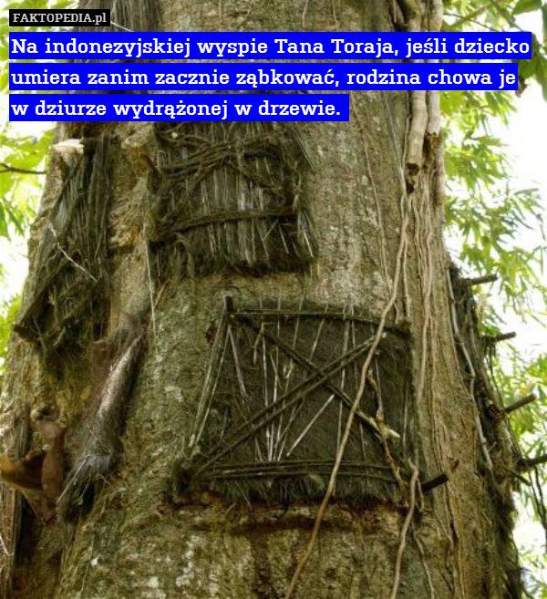 Na indonezyjskiej wyspie Tana – Na indonezyjskiej wyspie Tana Toraja, jeśli dziecko umiera zanim zacznie ząbkować, rodzina chowa je w dziurze wydrążonej w drzewie.