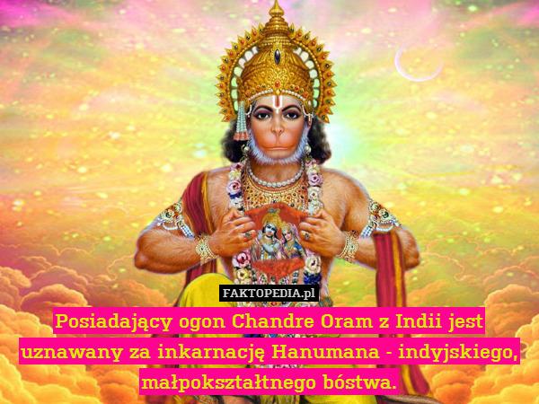 Posiadający ogon Chandre Oram – Posiadający ogon Chandre Oram z Indii jest uznawany za inkarnację Hanumana - indyjskiego, małpokształtnego bóstwa.
