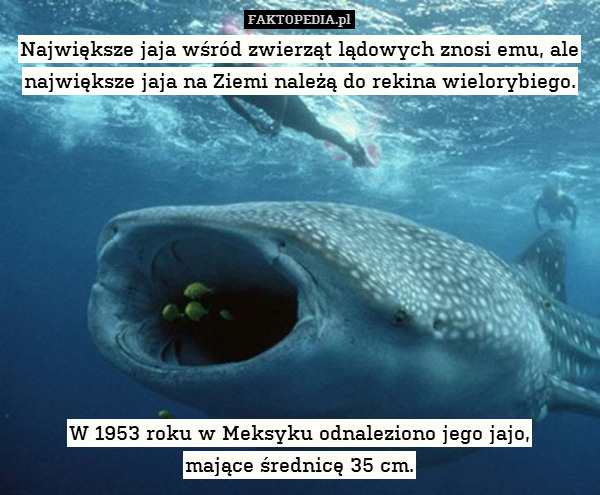 Największe jaja wśród zwierząt – Największe jaja wśród zwierząt lądowych znosi emu, ale największe jaja na Ziemi należą do rekina wielorybiego.           W 1953 roku w Meksyku odnaleziono jego jajo, mające średnicę 35 cm.