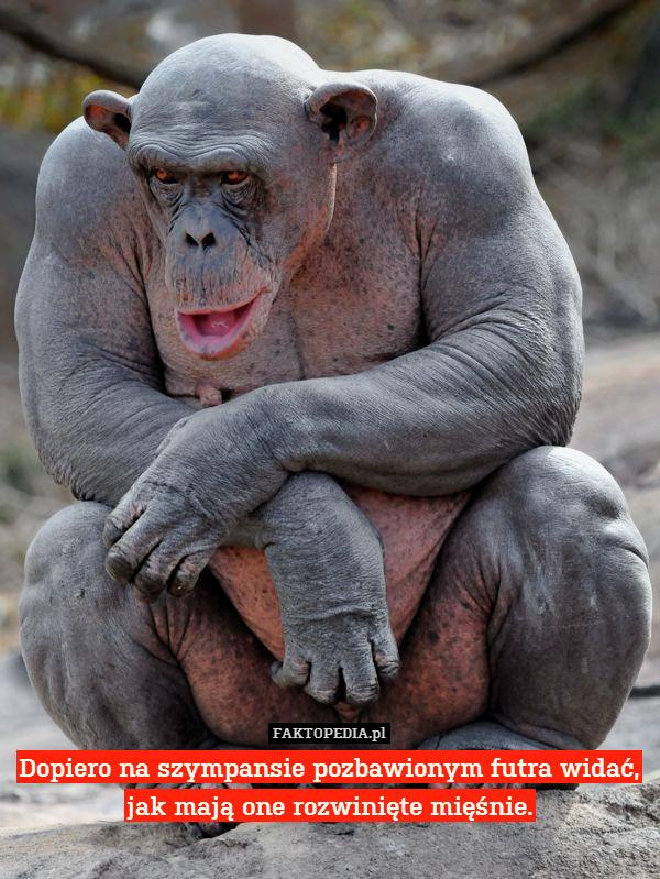 Dopiero na szympansie pozbawionym – Dopiero na szympansie pozbawionym futra widać, jak mają one rozwinięte mięśnie.