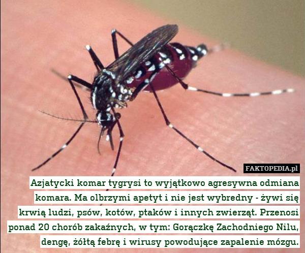 Azjatycki komar tygrysi to wyjątkowo – Azjatycki komar tygrysi to wyjątkowo agresywna odmiana komara. Ma olbrzymi apetyt i nie jest wybredny - żywi się krwią ludzi, psów, kotów, ptaków i innych zwierząt. Przenosi ponad 20 chorób zakaźnych, w tym: Gorączkę Zachodniego Nilu, dengę, żółtą febrę i wirusy powodujące zapalenie mózgu.