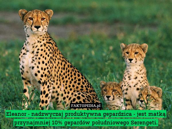 Eleanor - nadzwyczaj produktywna – Eleanor - nadzwyczaj produktywna gepardzica - jest matką przynajmniej 10% gepardów południowego Serengeti.