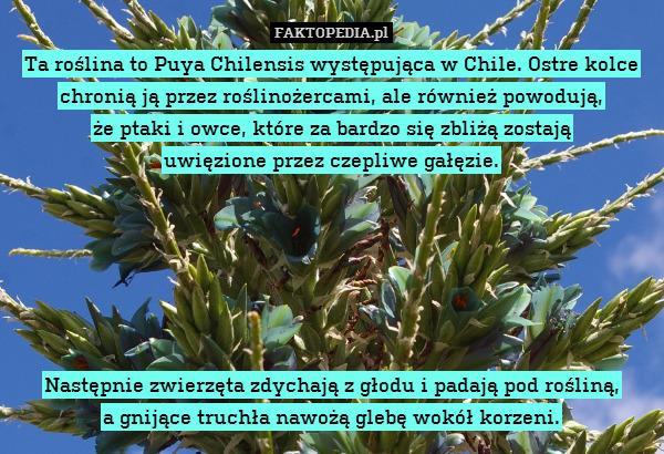 Ta roślina to Puya Chilensis występująca – Ta roślina to Puya Chilensis występująca w Chile. Ostre kolce chronią ją przez roślinożercami, ale również powodują, że ptaki i owce, które za bardzo się zbliżą zostają uwięzione przez czepliwe gałęzie. Następnie zwierzęta zdychają z głodu i padają pod rośliną, a gnijące truchła nawożą glebę wokół korzeni.