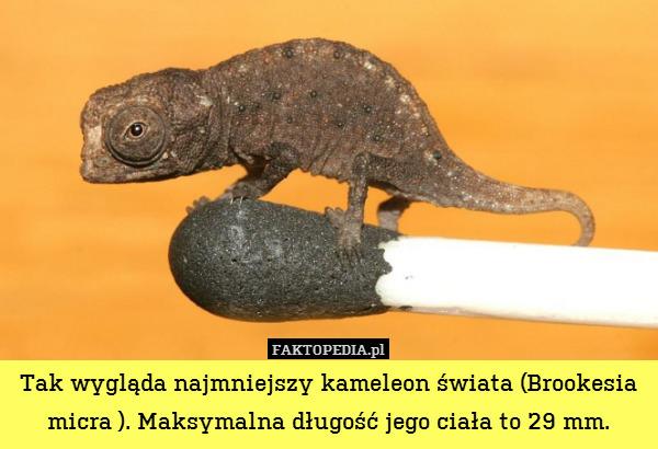 Tak wygląda najmniejszy kameleon – Tak wygląda najmniejszy kameleon świata (Brookesia micra ). Maksymalna długość jego ciała to 29 mm.