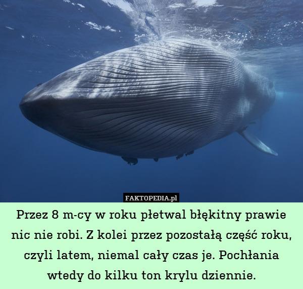 Przez 8 m-cy w roku płetwal błękitny – Przez 8 m-cy w roku płetwal błękitny prawie nic nie robi. Z kolei przez pozostałą część roku, czyli latem, niemal cały czas je. Pochłania wtedy do kilku ton krylu dziennie.