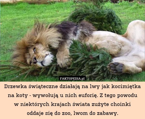 Drzewka świąteczne Działają Na Lwy Jak Kocimiętka Na Koty Wywołują