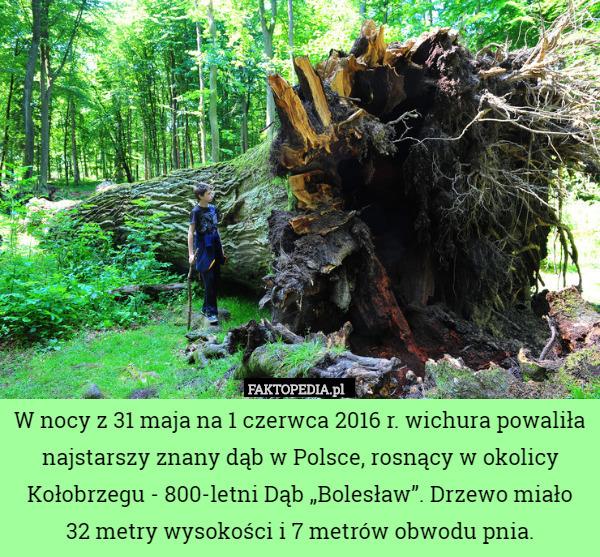 """W nocy z 31 maja na 1 czerwca 2016 r. wichura powaliła najstarszy znany – W nocy z 31 maja na 1 czerwca 2016 r. wichura powaliła najstarszy znany dąb w Polsce, rosnący w okolicy Kołobrzegu - 800-letni Dąb """"Bolesław"""". Drzewo miało 32 metry wysokości i 7 metrów obwodu pnia."""