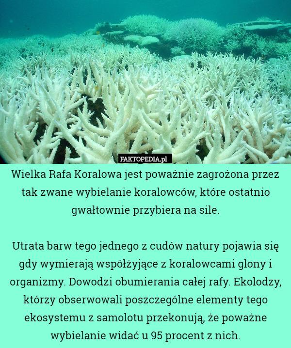 Wielka Rafa Koralowa jest poważnie zagrożona przez tak zwane wybielanie – Wielka Rafa Koralowa jest poważnie zagrożona przez tak zwane wybielanie koralowców, które ostatnio gwałtownie przybiera na sile. Utrata barw tego jednego z cudów natury pojawia się gdy wymierają współżyjące z koralowcami glony i organizmy. Dowodzi obumierania całej rafy. Ekolodzy, którzy obserwowali poszczególne elementy tego ekosystemu z samolotu przekonują, że poważne wybielanie widać u 95 procent z nich.