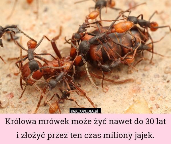 Królowa mrówek może żyć nawet do 30 lat i złożyć przez ten czas miliony – Królowa mrówek może żyć nawet do 30 lat i złożyć przez ten czas miliony jajek.