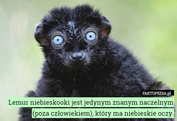 Lemur niebieskooki jest jedynym znanym naczelnym (poza człowiekiem), który – Lemur niebieskooki jest jedynym znanym naczelnym (poza człowiekiem), który ma niebieskie oczy.