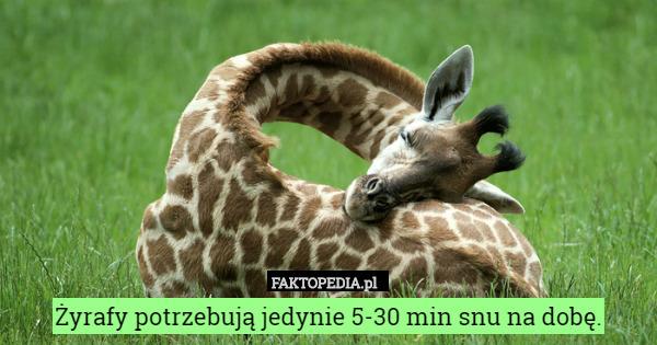 Żyrafy potrzebują jedynie 5-30 min snu na dobę. – Żyrafy potrzebują jedynie 5-30 min snu na dobę.