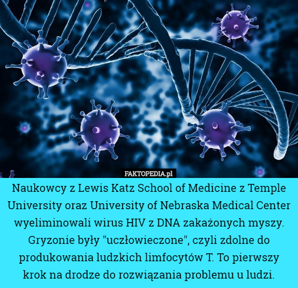"Naukowcy z Lewis Katz School of Medicine z Temple University oraz University... – Naukowcy z Lewis Katz School of Medicine z Temple University oraz University of Nebraska Medical Center wyeliminowali wirus HIV z DNA zakażonych myszy. Gryzonie były ""uczłowieczone"", czyli zdolne do produkowania ludzkich limfocytów T. To pierwszy krok na drodze do rozwiązania problemu u ludzi."